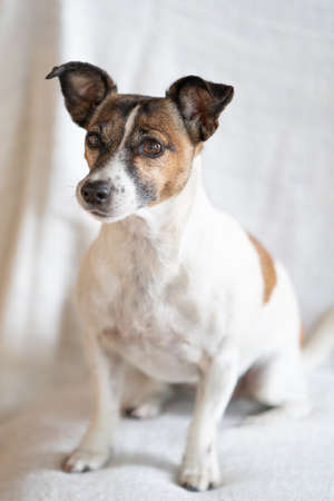 Brown, black and white older Jack Russell Terrier sits on a chair, full body.
