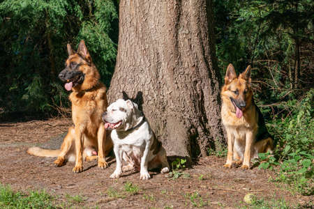 Three dogs in the woods, two German shepherd dogs and an old English bulldog, sitting in front of a large tree. Sunlight shines on the dog's head, tongues sticking out of their mouths. Natural environment. 免版税图像