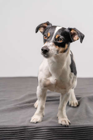 Young brown, black and white Jack Russell Terrier posing in a studio, full body, copy space. 免版税图像