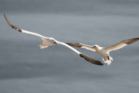 Two white and yellow gannets flies through the sky, blue, gray sea in background. 免版税图像