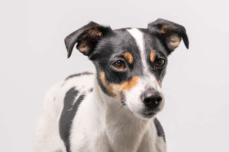 Brown, black and white young Jack Russell Terrier on a white background, head only.