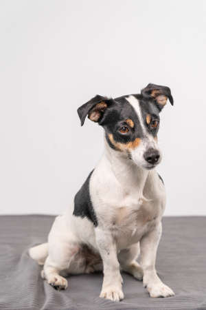 Young brown, black and white Jack Russell Terrier posing in a studio, the dog looks straight into the camera, copy space.