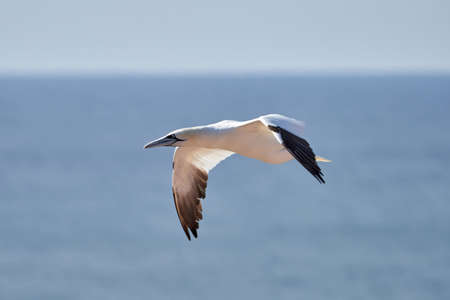 A single white and yellow gannet flies through the sky, blue, gray sea in background. 免版税图像