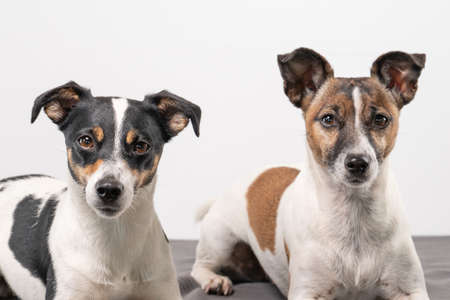 Two cheerful Jack Russell Terriers posing in a studio, in full length, on a gray blanket.
