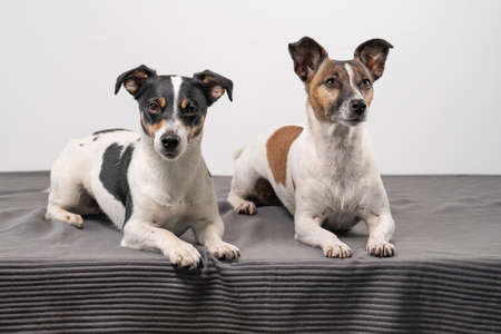 Two cheerful Jack Russell Terriers posing in a studio, in full length, on a gray blanket, copy space.
