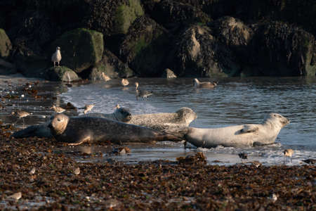 Wild gray seal colony in the sea. Lots of seaweed. Group with different shapes and sizes of gray seal. Dune, Germany. 写真素材