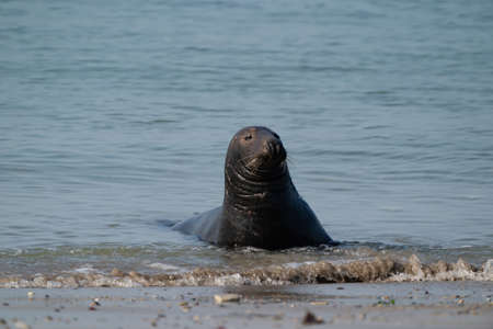 One Gray Seal, swimming in the sea with head above water. On the beach inside sea waves.
