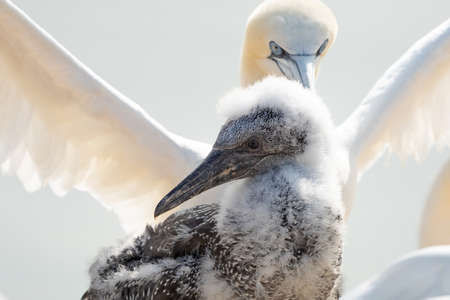 Fresh close-up of young northern gannet standing in front of large adult with wings spread. Island Helgoland, Germany. Фото со стока