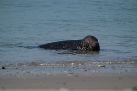 One Gray Seal, Halichoerus grypus. Swimming in the sea with head above water.
