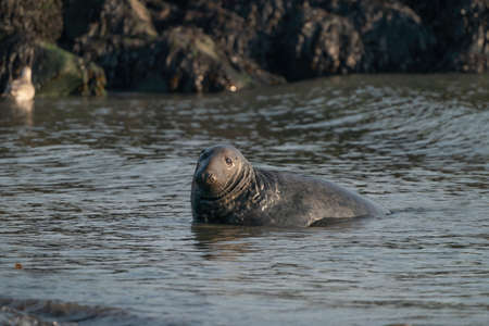 A gray seal, Halichoerus grypus. Swimming in the sea with waves, head above water. Rock in the background.