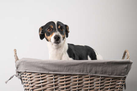 Brown, black and white, young Jack Russell Terrier in a basket on a white background, half body. 写真素材