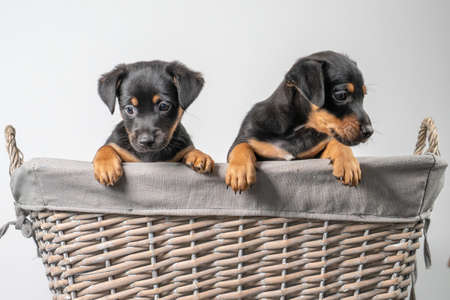 A portrait of two adorable Jack Russel Terrier puppies, in a wicker basket, isolated on a white background.