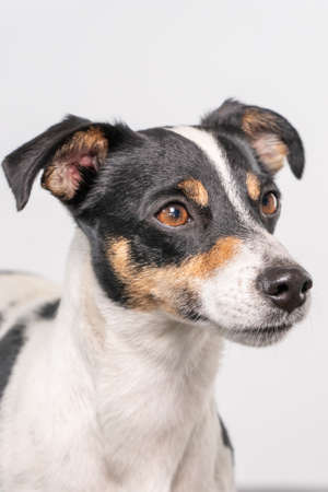 Brown, black and white Jack Russell Terrier dog posing in a studio, part of body, on a white background, copy space.