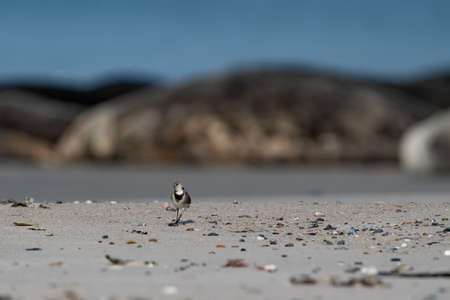 Funny little black and white birdie on the beach seals in the background. Dune, Germany.