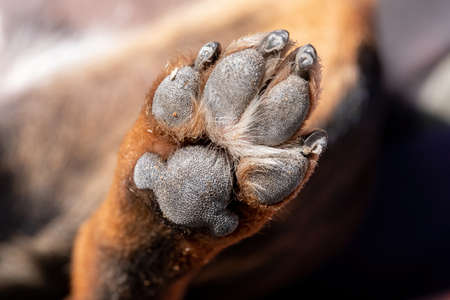 A close up look at the underside of the back dirty dog paw pad, during the day.