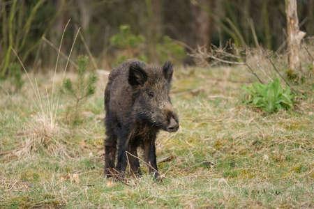 Wild boar, a cute funny piglet walking on grass, trees in backgound.