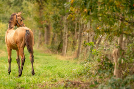 Portrait of buckskin foal, the horse with halter stands in the forest. Seen from behind. Autumn sun.