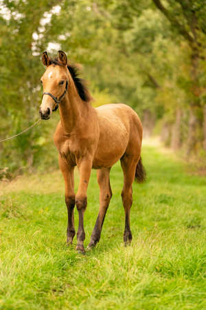 Portrait of buckskin foal, the horse with halter stands in the forest. Autumn sun.
