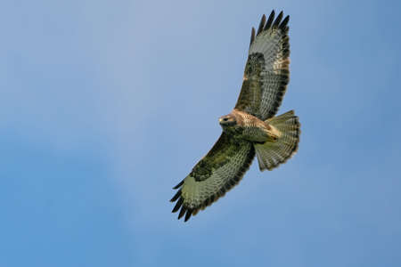One buzzard bird, bird of pray, buteo buteo, in flight against a blue sky and white clouds.