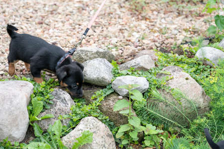 Little Jack russell terrier puppy, curiously walks on boulders in the garden for the first time. 免版税图像