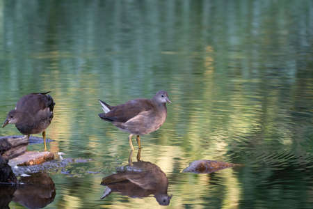 Two moorhens are in the green water. In the soft sunny morning light. With reflection .. Standard-Bild