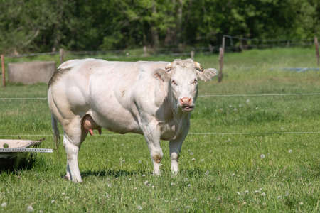 A white Charolais beef cows grazing in a green grassy pasture looking curiously at the camera.