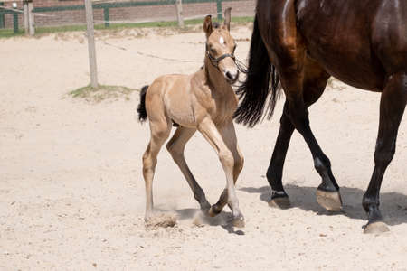 Newborn foal trot with mother in the sand. A natural green background.