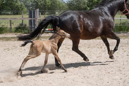 Stallion foal galloped with his mother in the sand. A natural green background.