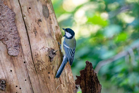 A great tit sits against a tree in side view. Very detailed bird and tree.