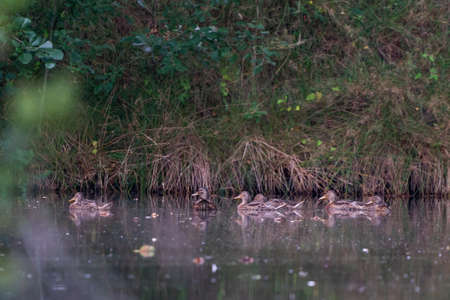 Wild duck family with a group of baby ducklings on a lake.