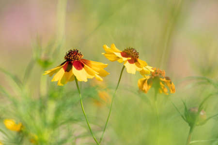 Yellow blooming flowers with brown hearts in a field. Sunflower, 'Goldrausch' Helenium autumnale. Selective focus.