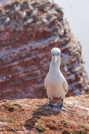 A gannet stands on a rock and looks into camera. Shadow falls on the ground.
