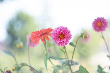 Romantick pink and orange flowers blooming in garden. Retro, vintage feeling, Selective focus. Reklamní fotografie