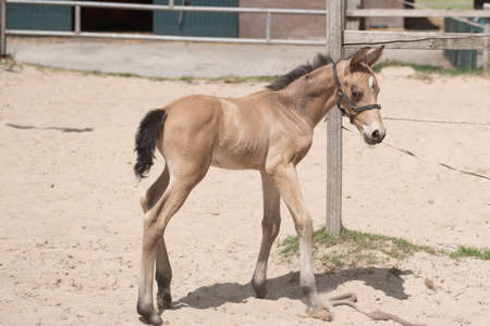 Young newly born yellow foal stands in the sand, newborn filly. Shadow and sun.