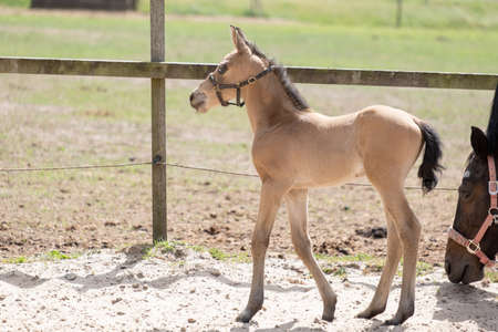 Young newly born yellow foal stands together with its brown mother, part of mare.
