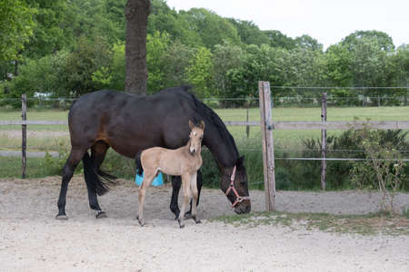 Young newly born yellow foal stands together with its brown mother. In a paddock with sand 免版税图像