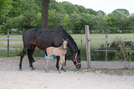 Young newly born yellow foal stands together with its brown mother 免版税图像