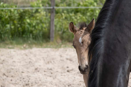 Young newly born yellow foal stands together with its brown mother. Looks over the mares mane