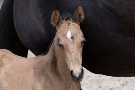 Young newly born yellow foal stands together with its brown mother. against the belly of the mother
