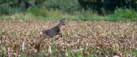 Panorama of a running deer in a freshly mowed corn field with forest in the background. long cover or social media Reklamní fotografie
