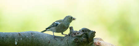 Panorma of a pretty female house finch perched on a branch in a tree in summe