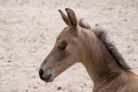 Small newborn yellow foal looking over the shoulder to the camera. Neck and head against a sandy background 免版税图像