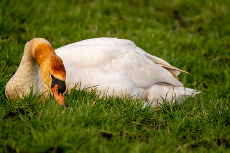 White swan lies in the grass, full body. Nature in winter. The swan has an orange head and neck