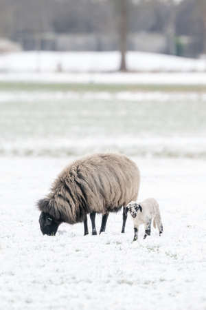 A newly born white lamb eats grass in the meadow, the grass is covered with snow. Mother sheeps and lams grazes, Winter on the farm trees in background. Blur and selective focus on lamb