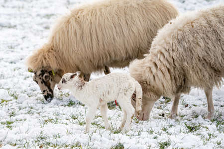 Head of sheep with a newborn lamb that still has blood on its navel, eating grass in the pasture. Grass is covered with snow. Winter on the farm. Blur, selective focus.