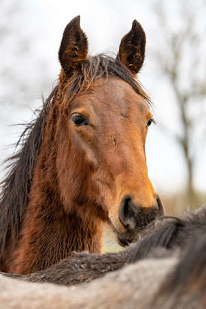 Brown horses head looks over the mane of a gray horse straight into the camera. Horses are dirty from mud and grass