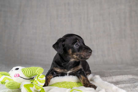 Brown and black, brindle Jack Russell Terrie puppy. Lies on a toy elephant. Dog seen in front. Cream colored background