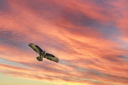 Rough-legged buzzard soars in the sky. Beautiful flying big bird of prey, in flight with dramatic sky. With vibrant blue and orange colors, space for text