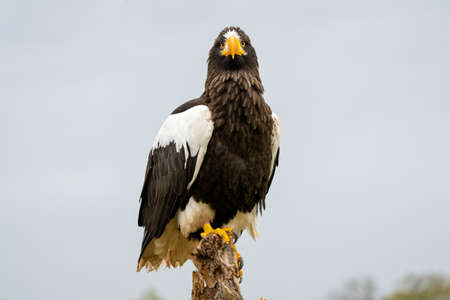 Steller's sea eagle sits on a stump against the background of sky and trees.
