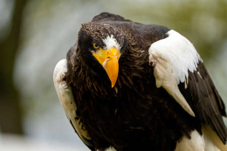 Close up of a Steller's sea eagle head. Yellow bill and eye, large nostrils. Snot drips from the nostril. Against the background of nature. Standard-Bild